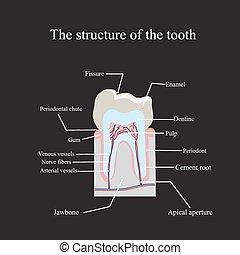 解剖, 黒, 構造, 背景, 歯