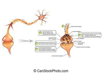 詳しい, 解剖学, シナプス, illustration., カラフルである, パス, シグナル, ニューロン, neuron., 美しい, neurons, クローズアップ, もう1(つ・人)