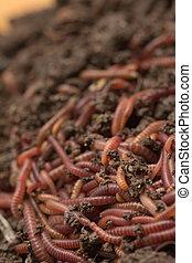 誘餌, -, 虫, 堆肥, 釣魚, 紅色