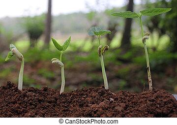 豆, 種子, 萌芽, 不同, 階段, 上, 自然, 背景