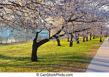 豐富, dc., 花, 櫻桃, 開花, 華盛頓, 衚衕, 早晨, 公園, 波托馬克河, 樹。, 東方