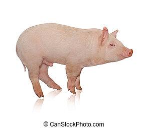 豚, だれか, ある, 表された, 上に, a, 白い背景