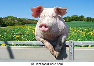豚, テント