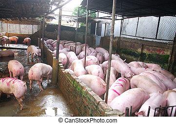 豚, 屠殺場