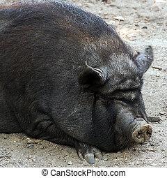 豚, 野生