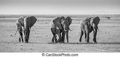 象の群れ, 中に, amboseli 国立公園, kenya
