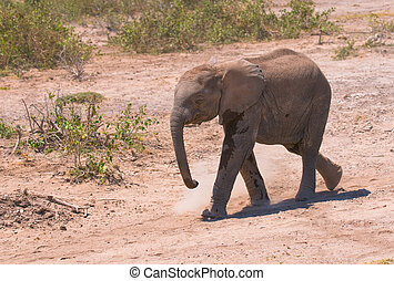 象子牛, amboseli 国立公園, kenya