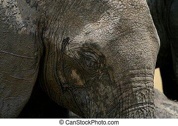 象, きば, そして, 群れ