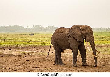 象, ∥で∥, 耳, 前方へ, 中に, ∥, サバンナ, の, amboseli, 公園, 中に, kenya