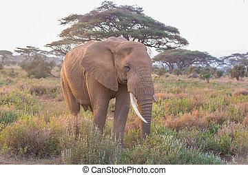 象, の前, kilimanjaro, amboseli, kenya.
