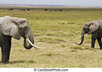 ∥, 象, の, amboseli