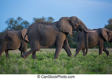 象, サファリの上に, 中に, アフリカ