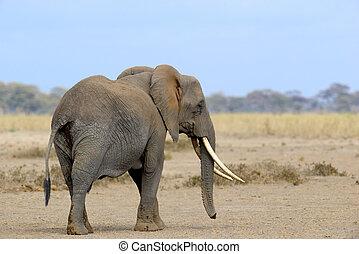 象, 上に, サバンナ, 中に, アフリカ