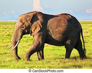象, 上に, savanna., サファリ, 中に, amboseli, kenya, アフリカ