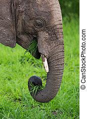 象, 中に, アフリカ, サファリ