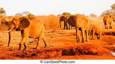 象, 中に, アフリカ, savanna., 東アフリカ, kenya