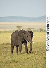 象, 中に, ∥, サバンナ