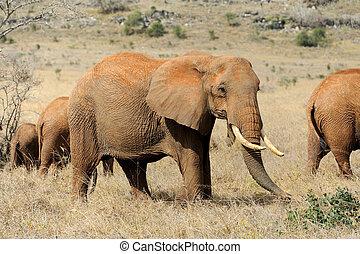 象, 中に, 国立公園, の, kenya