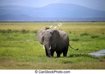 象, 中に, amboseli 国立公園