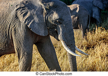 象, 中に, kenya, アフリカ