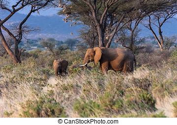 象, 中に, ∥, samburu, park., kenya, アフリカ