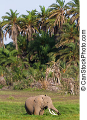 象, 中に, ∥, swamp., amboseli, kenya