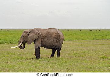 象, 半分, 浸された, 中に, ∥, 沼地, の, amboseli, 公園, 中に, kenya