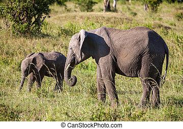 象, 家族の歩くこと, 中に, ∥, サバンナ