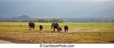 象, 家族, ある, 歩くこと, 中に, ∥, サバンナ, 中に, kenya, サファリの上に