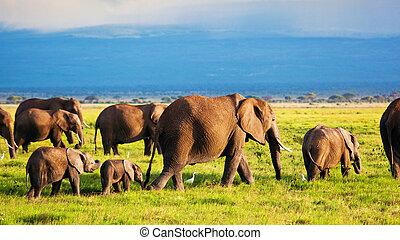 象, 家族, 上に, savanna., サファリ, 中に, amboseli, kenya, アフリカ
