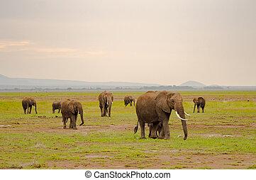 象, 家族, 中に, ∥, サバンナ, 田舎, の, amboseliau, 公園, kenya