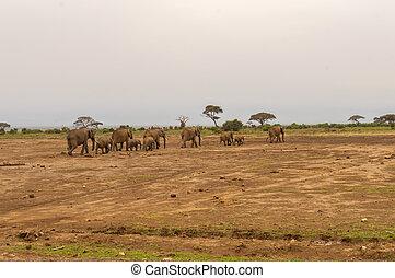 象, 正面図, ∥で∥, 彼の, 幼獣, 中に, ∥, サバンナ, の, amboseli, 公園
