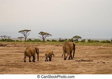 象, 正面図, ∥で∥, 彼の, 幼獣, 中に, ∥, サバンナ, の, amboseli, 公園, 中に, kenya