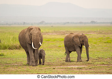 象, 正面図, ∥で∥, 彼の, 幼獣, 中に, ∥, サバンナ, の, amboseli