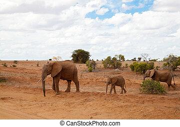 象, 歩くこと, 上に, ∥, サバンナ, サファリの上に, 中に, kenya