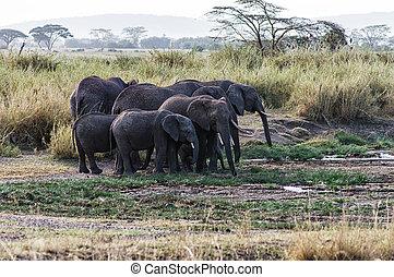 象, 群れ