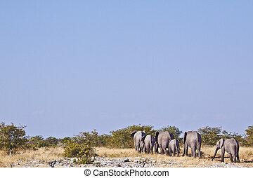 象, 群れ, 歩くこと