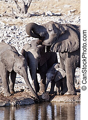 象, 群れ, 飲むこと