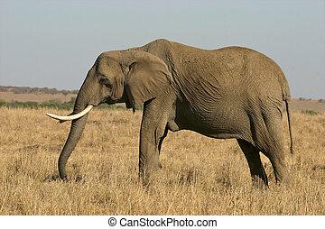 象, 肖像画
