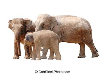 象, 隔離された, 家族, 動物