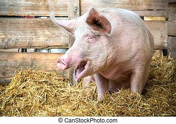 豬, 上, 干草, 以及, 秸桿
