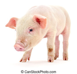 豬, 在懷特上