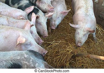 豬, 在, a, 穩定