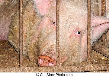豬, 在, a, 籠子