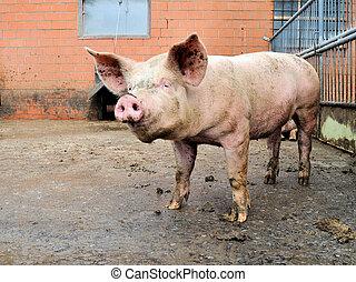 豬, 在, a, 豬圈