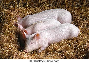 豬, 7060