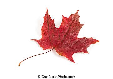 赤いかえで葉