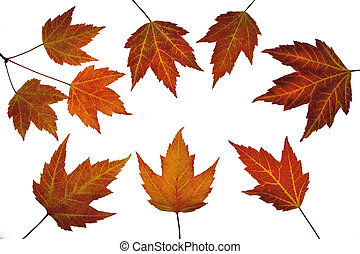 赤いカエデ, 葉, 中に, 秋