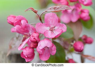 赤いサクランボ, 花