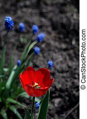 赤いチューリップ, 庭で
